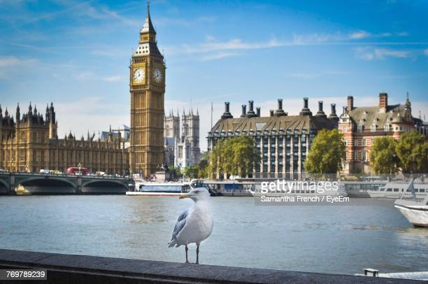 seagulls on wall against thames river and big ben - thames river stock pictures, royalty-free photos & images