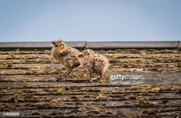 seagulls on wood against clear sky - day old chicks stockfoto's en -beelden