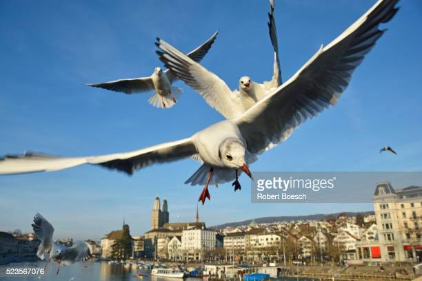 Seagulls over the city of Zurich, Switzerland