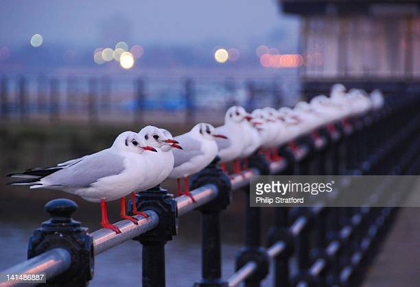 Seagulls Perched in a Row