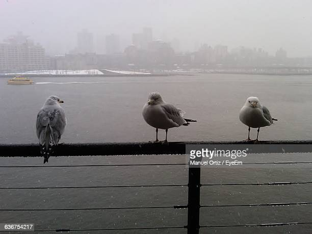 Seagulls Perching On Pier Railing During Monsoon