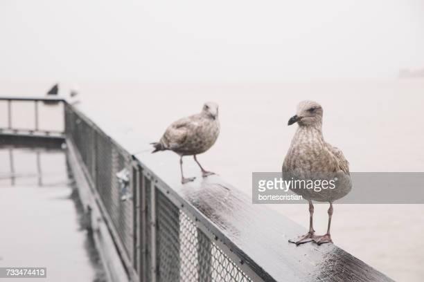 seagulls perching on railing against sky - bortes cristian stock-fotos und bilder