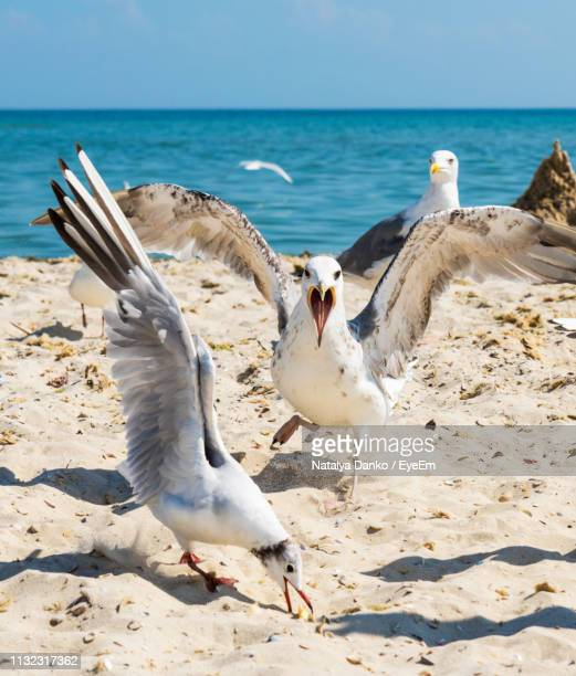 seagulls perching on sand at beach during summer - spread wings stock pictures, royalty-free photos & images