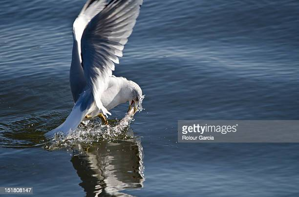 seagulls - rolour garcia stock pictures, royalty-free photos & images