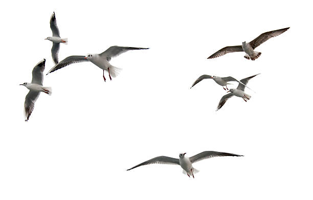 Free flying seagull Images, Pictures, and Royalty-Free