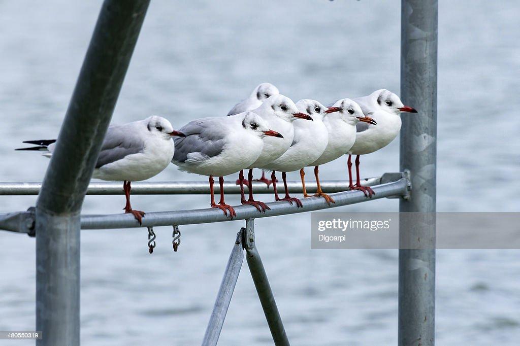 Seagulls : Stock Photo
