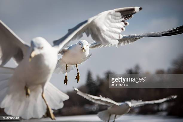 seagulls - マーカム ストックフォトと画像