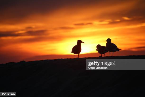 Seagulls Silhouetted at Sunset