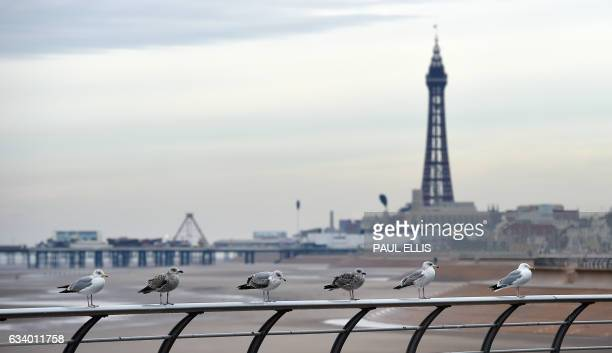 Seagulls sit on a railing along the promenade in front of the Blackpool Tower in Blackpool north west England on February 6 2017 Blackpool is a...