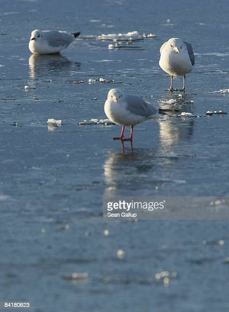 Seagulls sit on the ice of the frozen Spree canal on January 6 2009 in Berlin Germany Temperatures in Berlin reached 19 degrees Celsius as a Siberian...