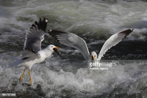 Seagulls steal pearl mullets at the Lake Van in Van Turkey on May 31 2018 The pearl mullets which live in sweet water salty water in Lake Van must...