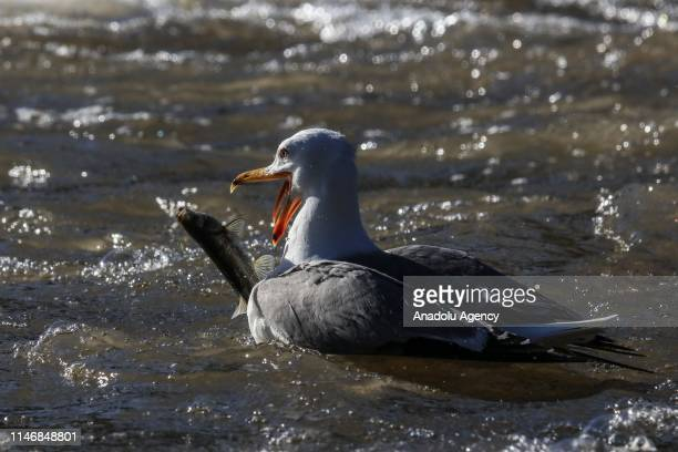 Seagulls steal pearl mullets over the waters of the Lake Van in Van Turkey on May 26 2019 The pearl mullets live in waters of Lake Van and every year...