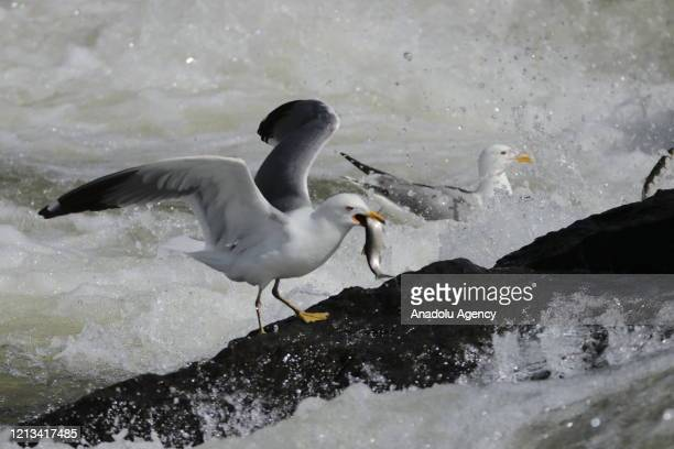 Seagulls steal pearl mullets over the waters of the Lake Van in Van Turkey on May 16 2020 The pearl mullets live in waters of Lake Van and every year...