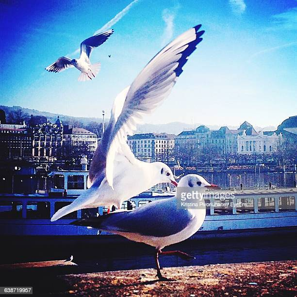 Seagulls With City In Background
