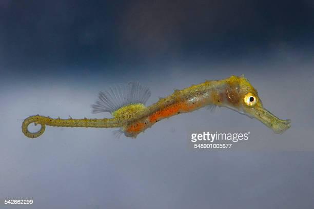 Seahorse baby