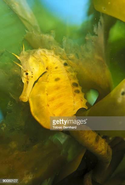 seahorse hippocampus abdominalis in kelp steward isl., new zealand
