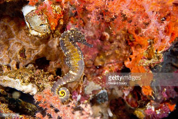 Seahorse in soft coral at night
