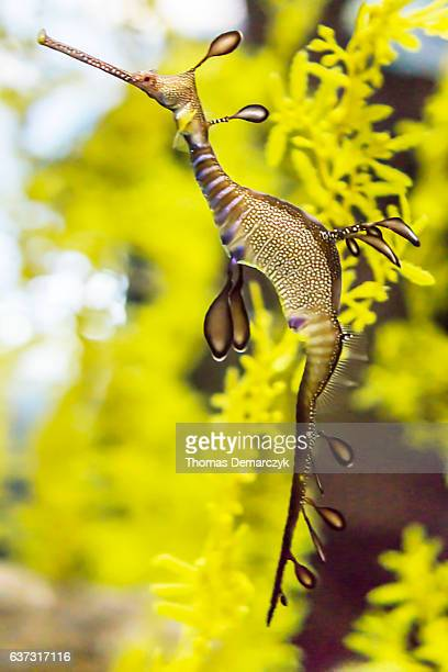 seahorse - sea horse stock photos and pictures
