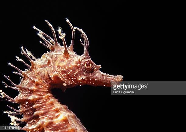 seahorse portrait - sea horse stock photos and pictures
