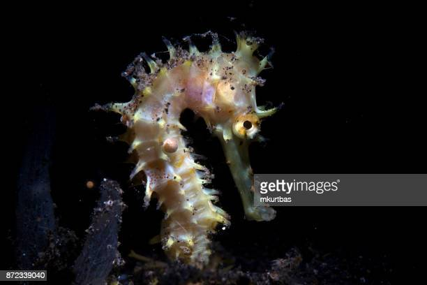 seahorse reef - sea horse stock photos and pictures