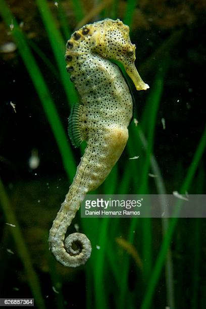 seahorse side view close up - sea horse stock photos and pictures