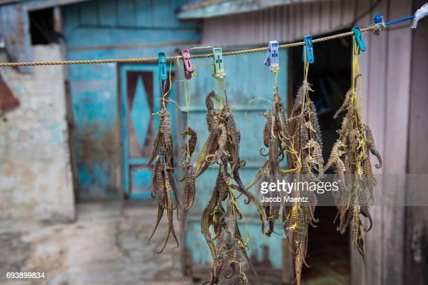 Seahorses being dried in a Sama-Bajau village.