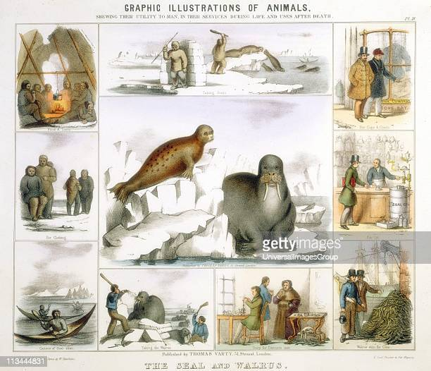 Seal and Walrus used for food and tents clothing canoes fur oil glue false teeth Handcoloured lithograph by Waterhouse Hawkins published London c1850...