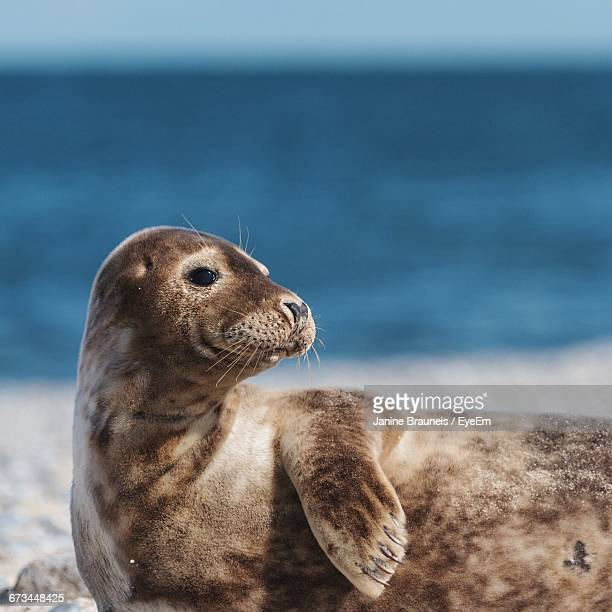 seal at beach looking away - helgoland stock pictures, royalty-free photos & images