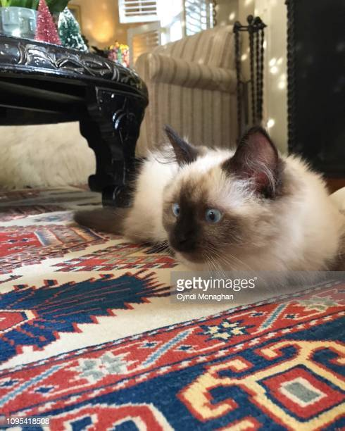 Seal Colorpoint Ragdoll Kitten Making a Funny Face