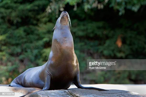 seal in the sun - ryan mcginnis stock photos and pictures