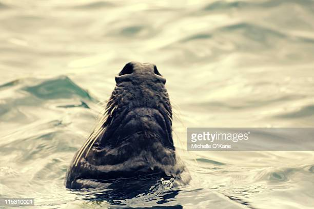 seal in water - dalkey stock pictures, royalty-free photos & images