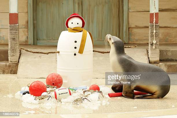 Seal investigates Christmas toys at Taronga Zoo on December 21 2011 in Sydney Australia Animals received Christmas themed enrichment foods as part of...