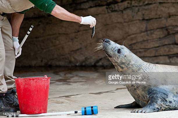 A seal is fed with fish during lunch time at the Bioparco zoological garden on April 5 2012 in Rome Italy