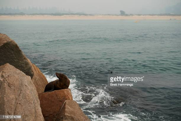 Seal is pictured resting on a rock on the coast line as smoke covers the horizon on January 04, 2020 in Narooma, Australia. A state of emergency has...