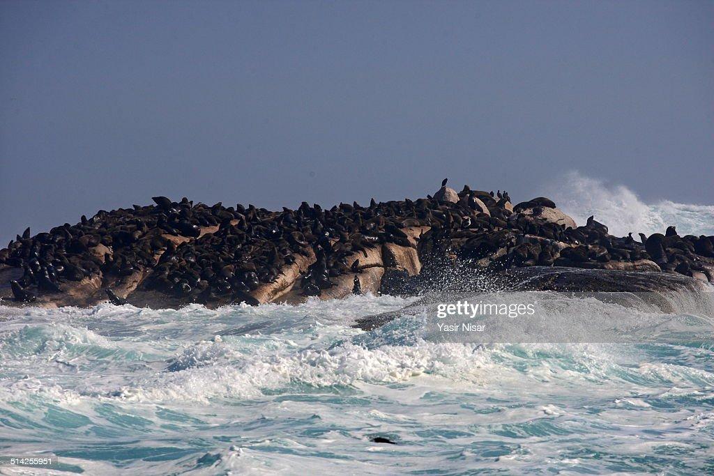 Seal Island : Stock Photo