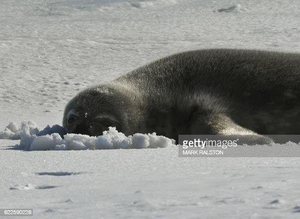 A seal lies on a frozen section of the Ross Sea at the Scott Base in Antarctica on November 12 2016 Kerry is travelling to Antarctica New Zealand...
