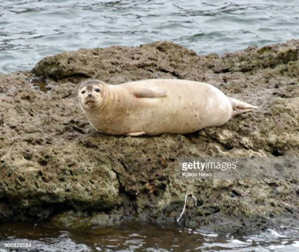 A seal lies on a rock in the Yoneshiro River in Noshiro Akita Prefecture northeastern Japan on Jan 17 2018 The seal about 70 centimeters in size was...
