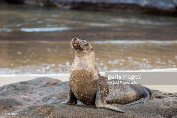 Seal Lion on the beach in Floreana Galapagos Islands Ecuador