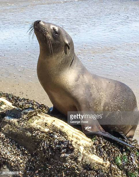 A seal lounges on the sand and rocks on May 28 at Gaviota State Park California Because of its close proximity to the Southern California and Los...