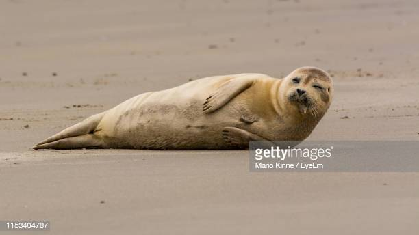seal lying on sand - helgoland stock pictures, royalty-free photos & images