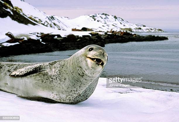 seal on coast - leopard seal stock pictures, royalty-free photos & images
