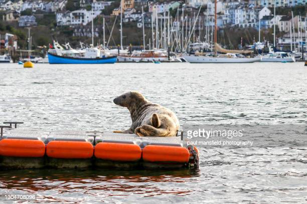 seal on floating jetty - whisker stock pictures, royalty-free photos & images