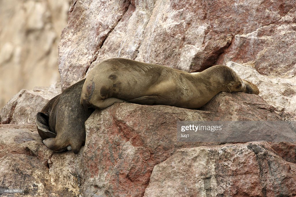 Seal on Islas Ballestas, Paracas National park in Peru : Stock Photo