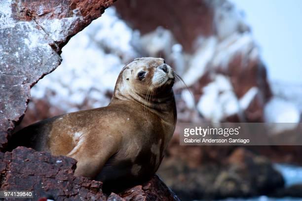 Seal on rock, Ballestas Islands, Paracas, Peru