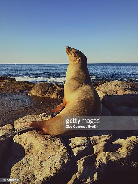 Seal On Rocks By Sea Against Clear Sky
