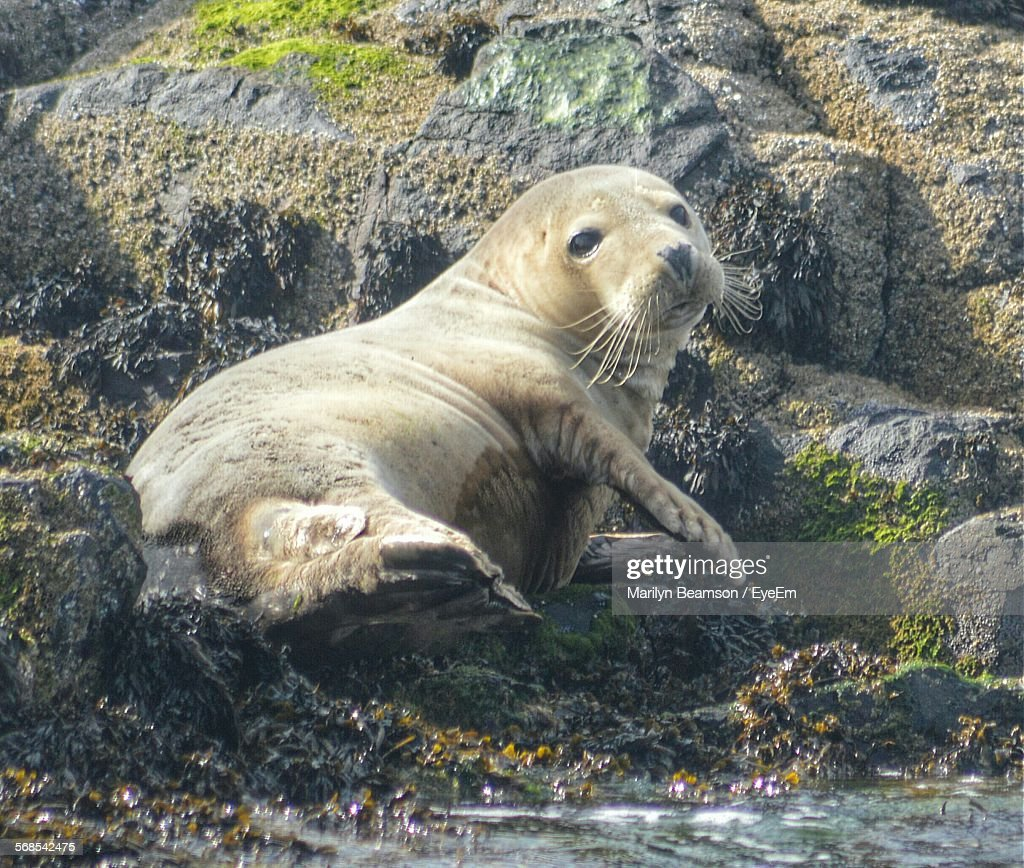 Seal On Rocky Shore : Stock Photo