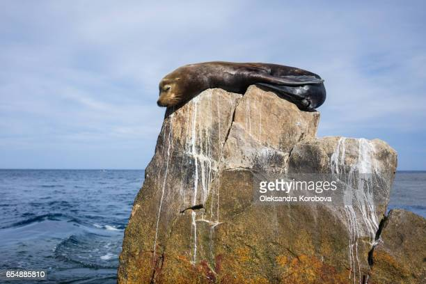 Seal or sea lion sleeping on the rock at Land's End