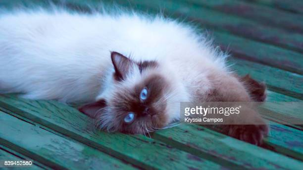 Seal Point Himalayan Cat, Blue Eyes, Lying Down