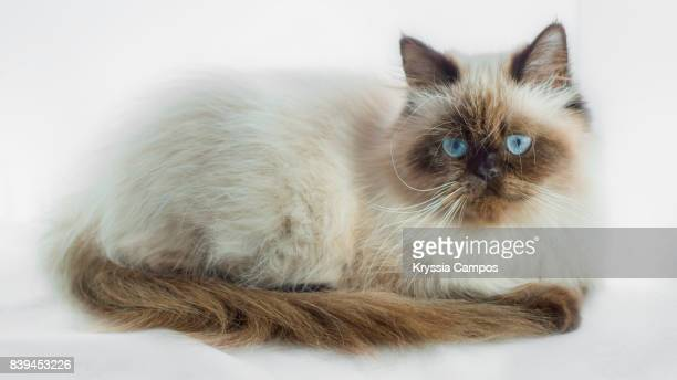 Seal Point Himalayan Cat isolated on White