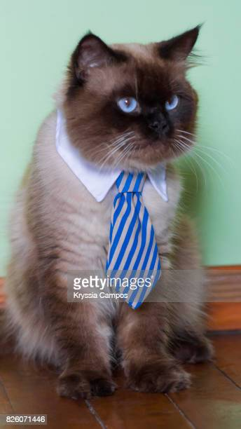 Seal Point Himalayan Cat Wearing Necktie